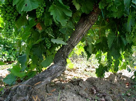 barbi vineyards