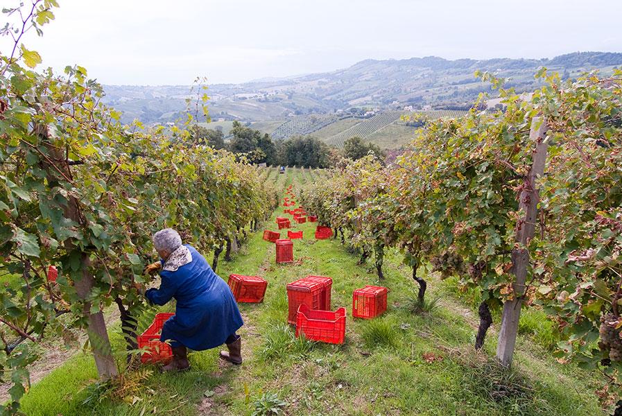 vallerosa bonci vineyards